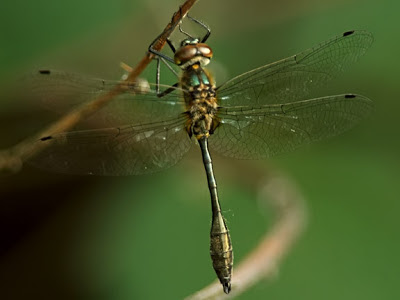 Racket-tailed Emerald Dragonfly