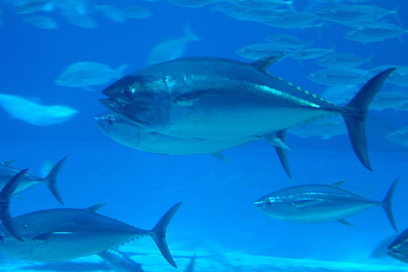 bluefin tuna Find bluefin tuna stock images in hd and millions of other royalty-free stock photos, illustrations, and vectors in the shutterstock collection thousands of new, high-quality pictures added every day.