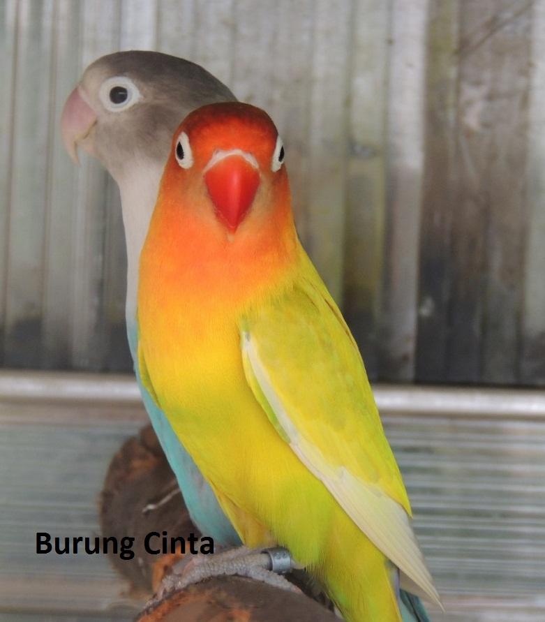 Manfaat Daun Tuhan Untuk Lovebird: Tingkatkan Stamina Dan ...