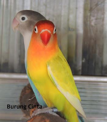 manfaat daun dewa untuk lovebird