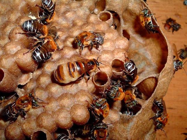 Apis Melipona η μέλισσα που δεν έχει κεντρί... video