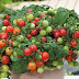 Cách Trồng Cây Cà Chua Bi Cà chua bi hay còn gọi là cà chua cherry