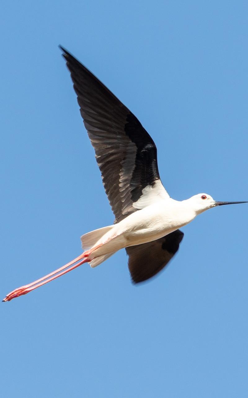 A black-winged stilt in flight.