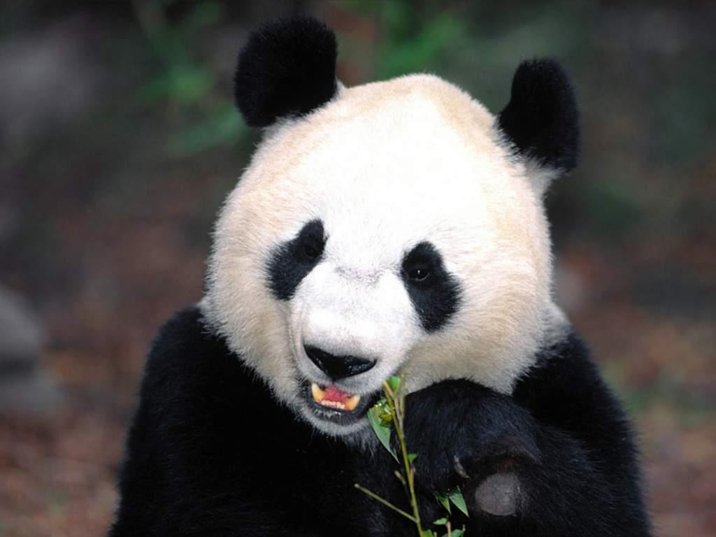 Free Cool Wallpapers: giant panda