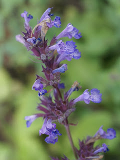 Menthe des chats - Nepeta cataria