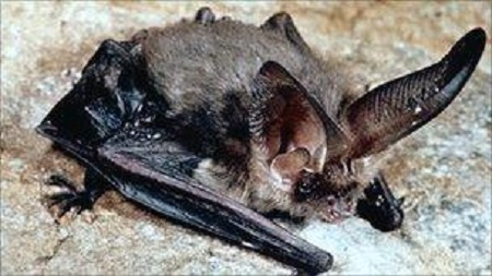 Info on bats   Steps to boost Cumbria forest bat numbers