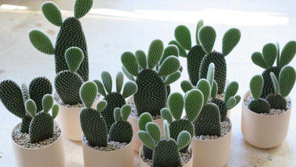 7 Macam Kaktus Hias Yang Cocok Untuk Mempercantik Rumah