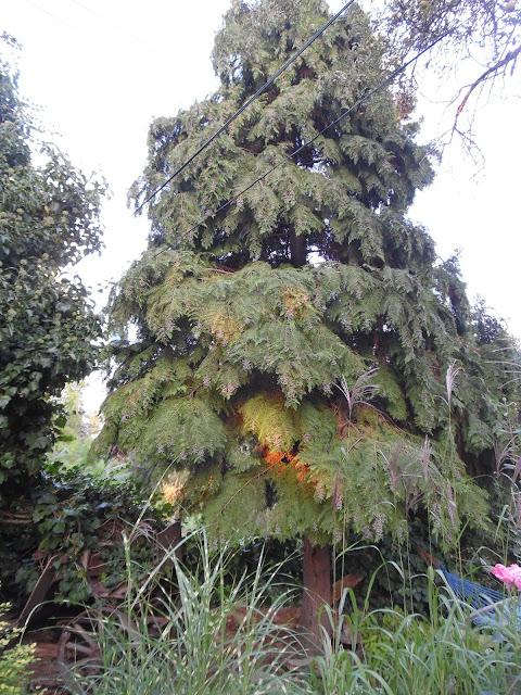 drzewo iglaste thuja