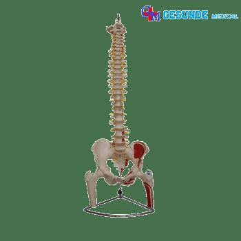Torso Anatomi Tulang Belakang GM-X126