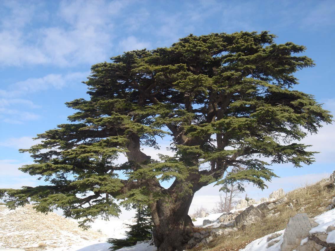 Cedro | Árvore da Ordem das Coníferas