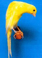 Burung Kenari Belgia