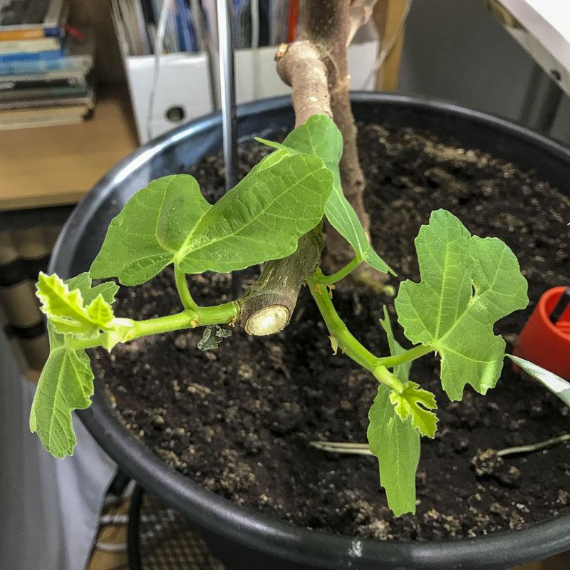 fikon. fikonträd, figs, figtree