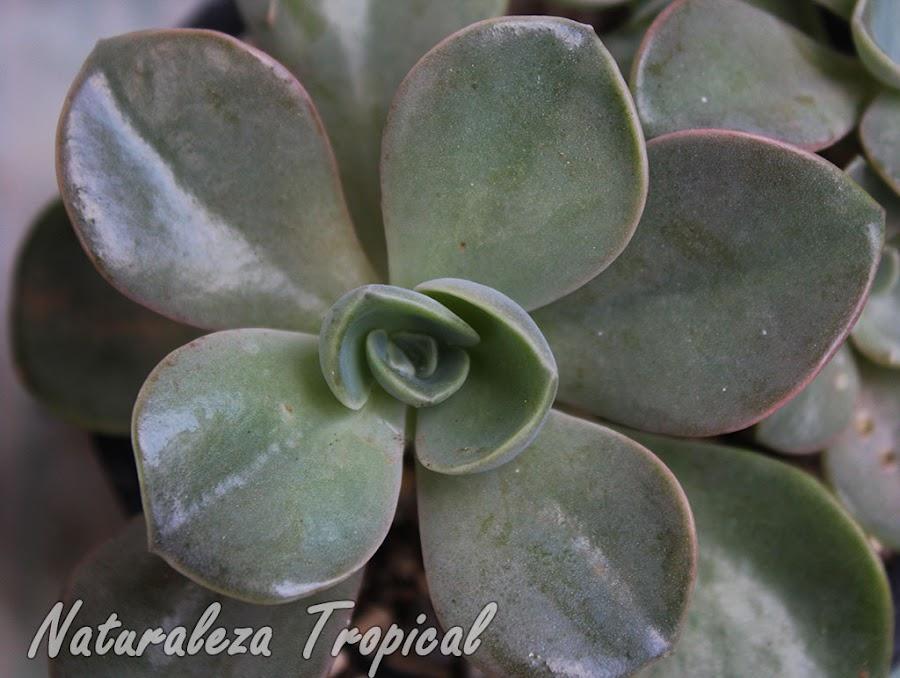 Echeveria con grandes hojas aplanadas