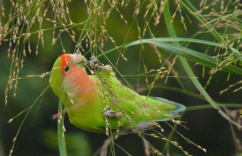 Cara Merawat Burung Lovebird Biar Ngekek Panjang