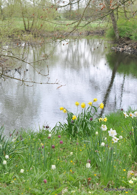 Riverside Daffodils, Waterperry Garden, England