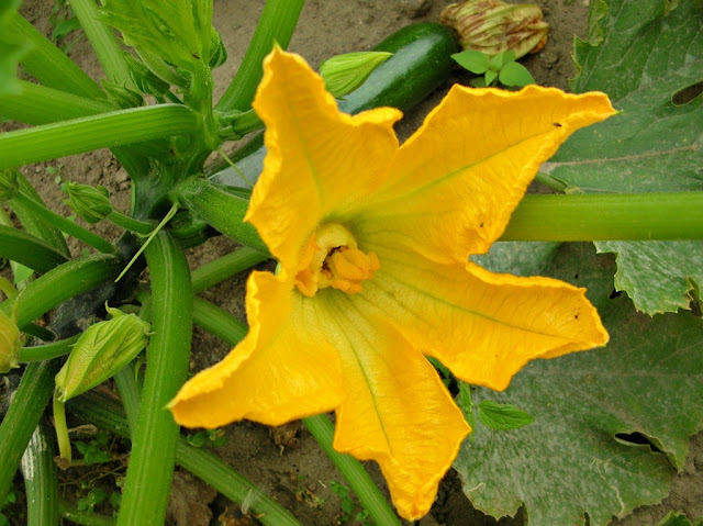 kwiat, młoda cukinia, ogród