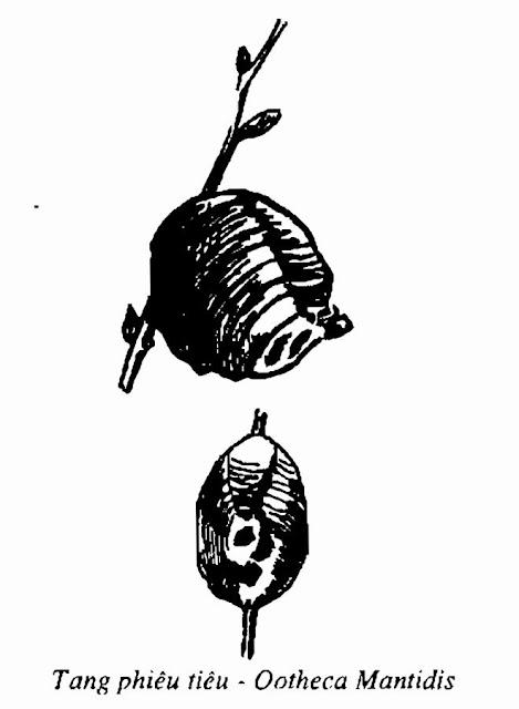 Tang phiêu tiêu - CÂY DÂU - Morus alba - Nguyên liệu làm thuốc Chữa Ho Hen