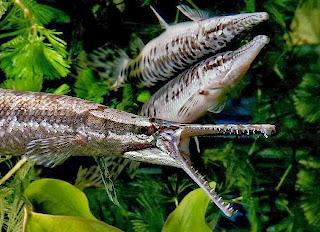 ikan aligator