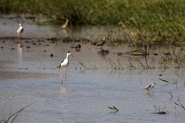 wood sandpiper and black winged stilt