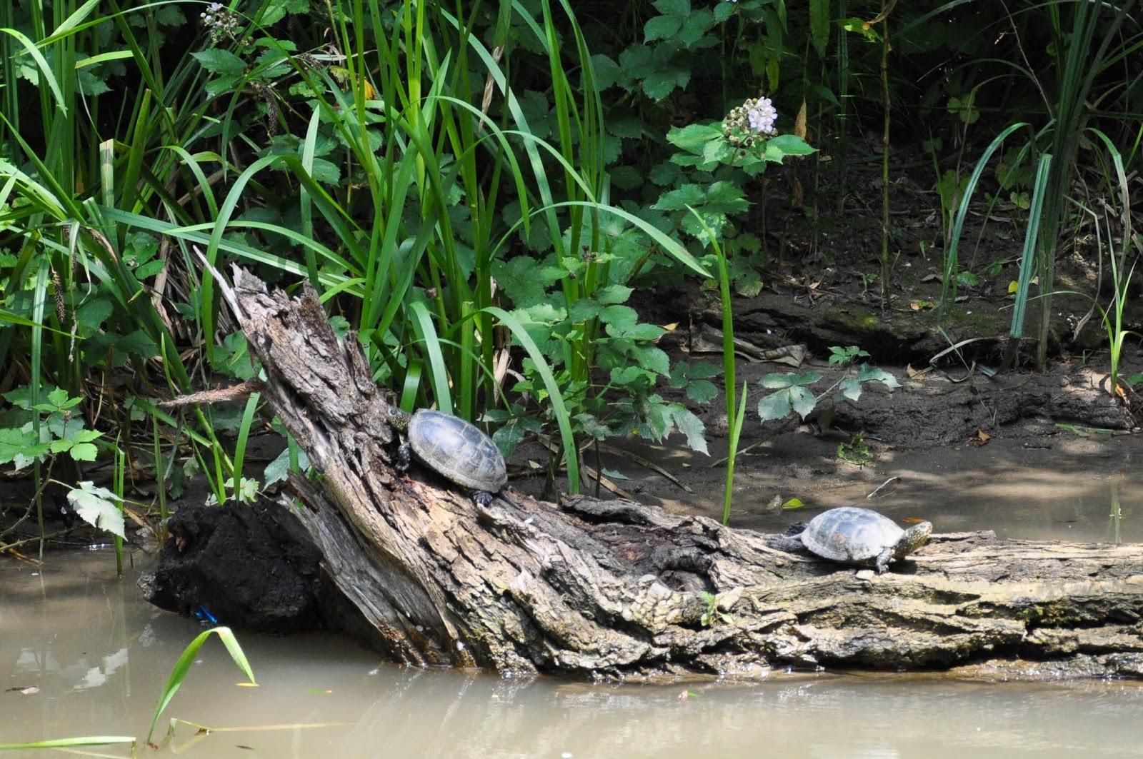 Turtles, the Kamchia river, Bulgaria