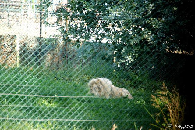 Splendido esemplare di raro leone bianco