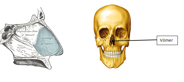 hueso tabique nasal