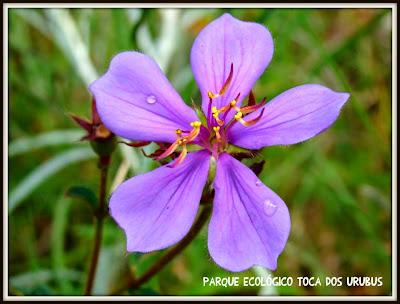 Toca-dos-urubus-baependi-Tibouchina-gracilis