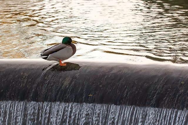 Dam Mallard - Mallard sat on dam wall