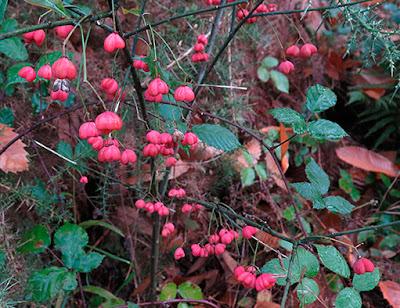 Frutos maduros rojos del bonetero (Euonymus europaeus)