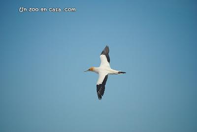 Alcatraz australiano (Morus serrator)