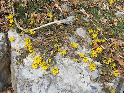 [Fabaceae] Hippocrepis comosa.