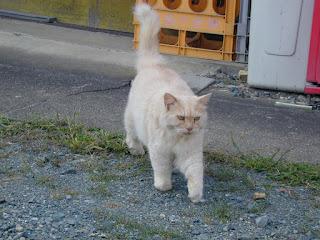 尻尾をピンと立てて向かってくるフサフサ猫