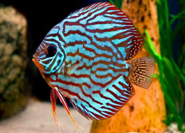 cá dĩa có màu sắc đa dạng, rất thích hợp nuôi trong hồ thủy sinh