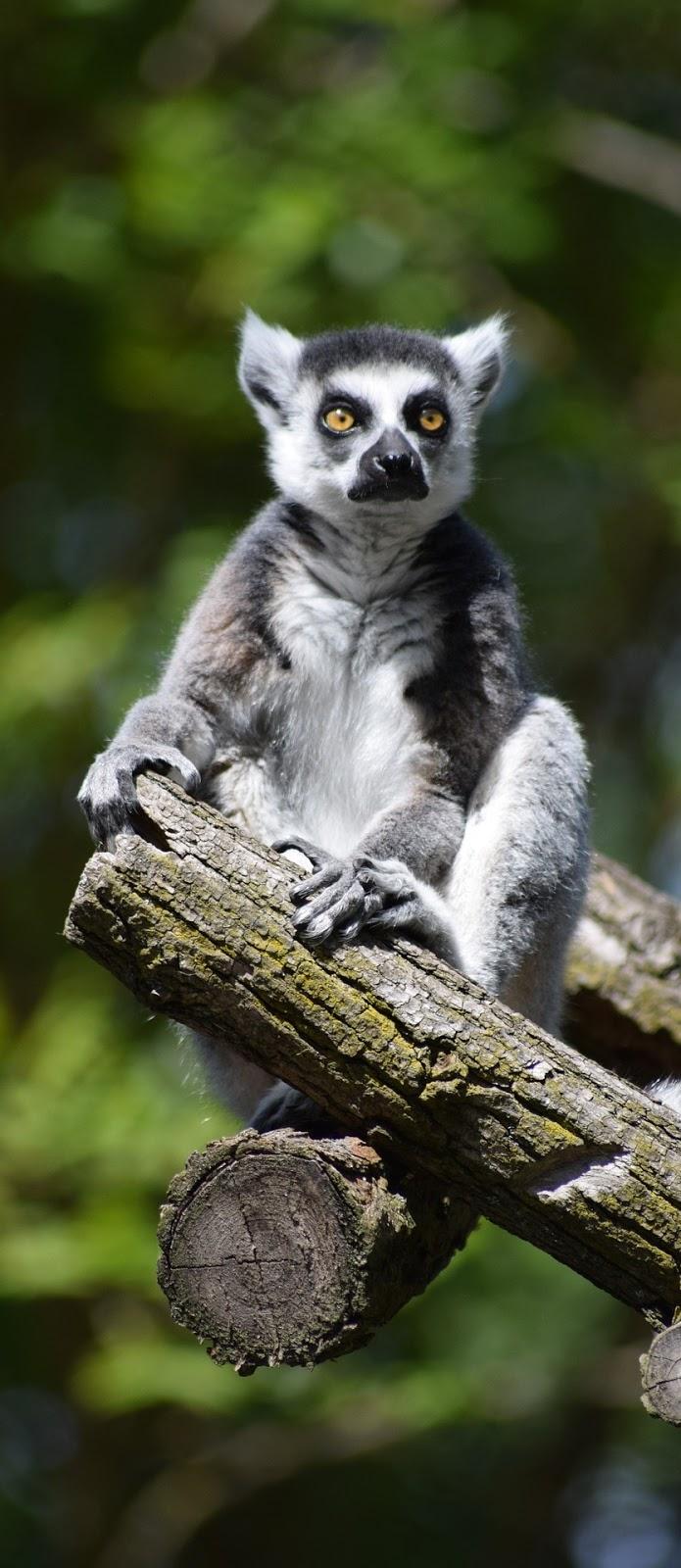 A cute lemur.