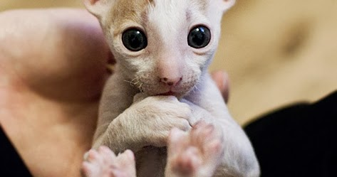How Much Does A Cornish Rex Kitten Cost Annie Many