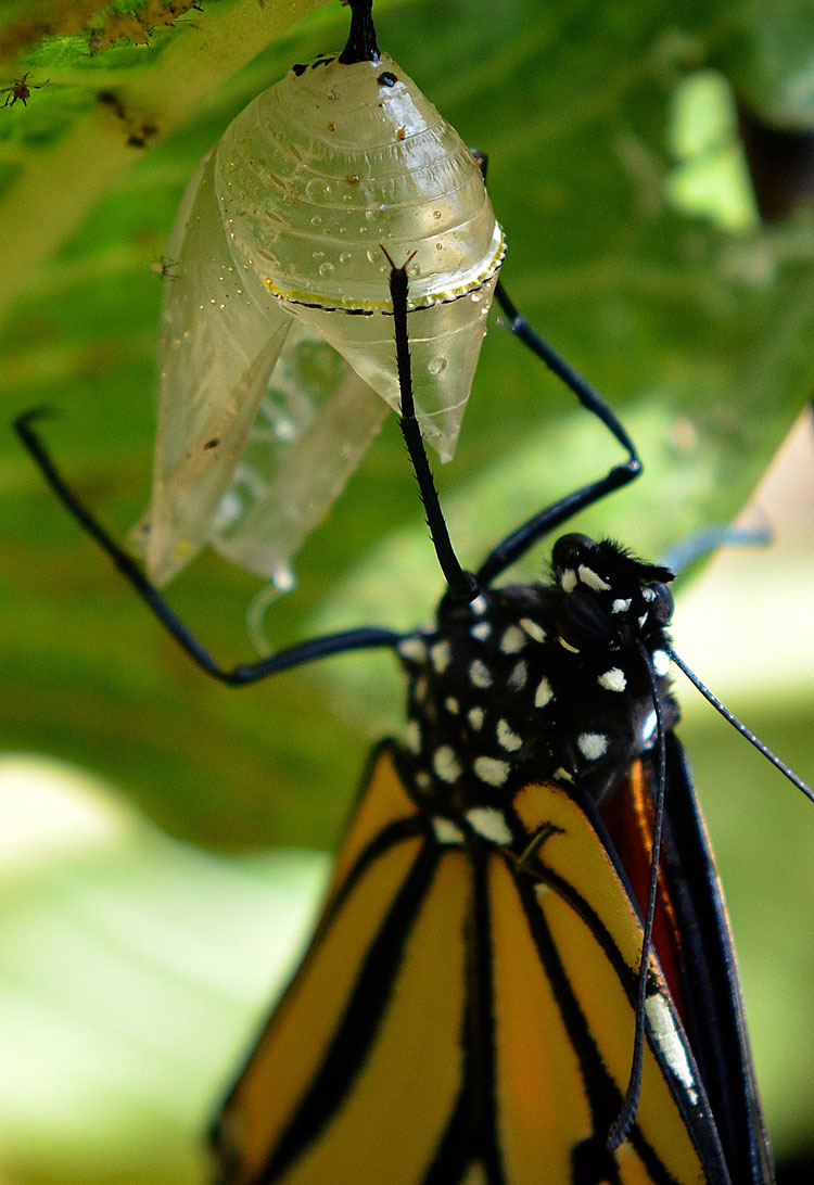 17 Best images about Chrysalis ~ Cocoons on Pinterest ...