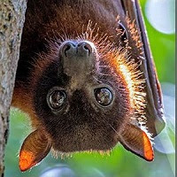 Little Red Megabat (Pteropus scapulatus)