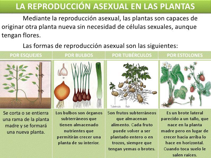 Cuales son los tipos de reproduccion asexual vegetal