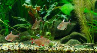 Rosy Jenis Ikan Tetra Terpopuler