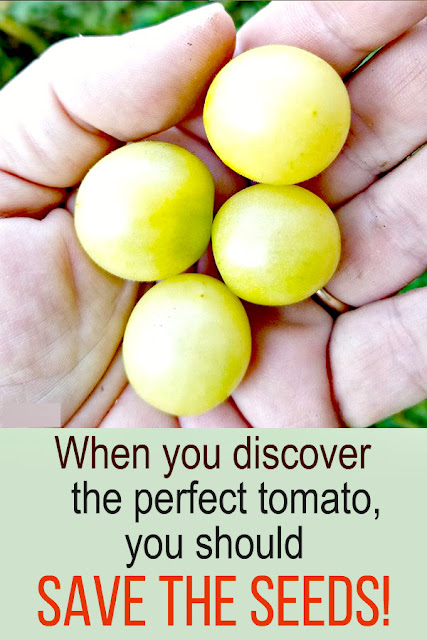 When you finally find the perfect variety of tomato, sweet and delicious, and it grows well in your garden... learn how to save the seeds so you can grow it again next year!