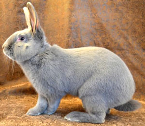 conejo lila, conejos lila, sobre conejo lila, raza conejo lila, criadores de conejos lila, comportamiento conejo lila, raza conejo lila, variedades lilac, conejo lila, color conejo lila, características conejo lila, conejo lila conejo piel, conejo lila para carne, historia de conejo lila, información de conejo lila, información de conejo lila, imagen de conejo lila, vida de conejo lila, carne de conejo lila, origen de conejo lila, personalidad de conejo lila, imagen de conejo lila, foto de conejo lila, crianza de conejo lila , tamaño de conejo lila, temperamento de conejo lila, usos de conejo lila, variedad de conejo lila, peso de conejo lila, color de ojo de conejo lila, color de piel de conejo lila