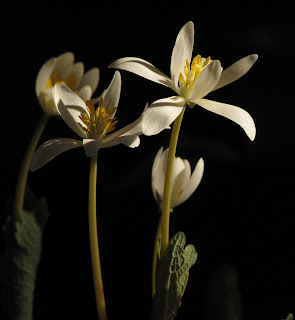 Sanguinaria canadensis flowers finishing