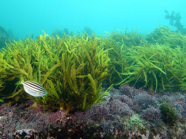 Brown algae grow on ocean floor