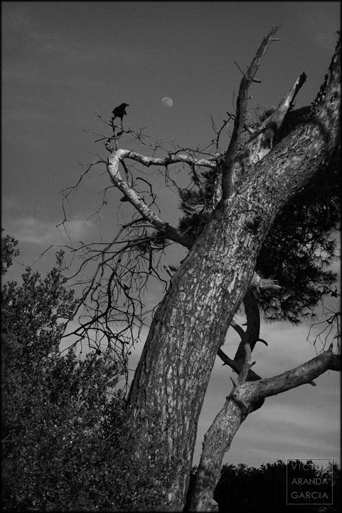 fotografia,animales,naturaleza,el_saler,valencia,cuervo,pino,luna