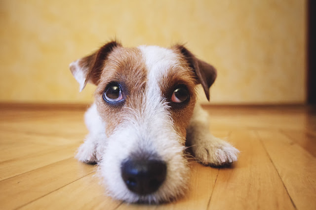 Use of punishment in dog training risks fear, as with this fearful Jack Russell