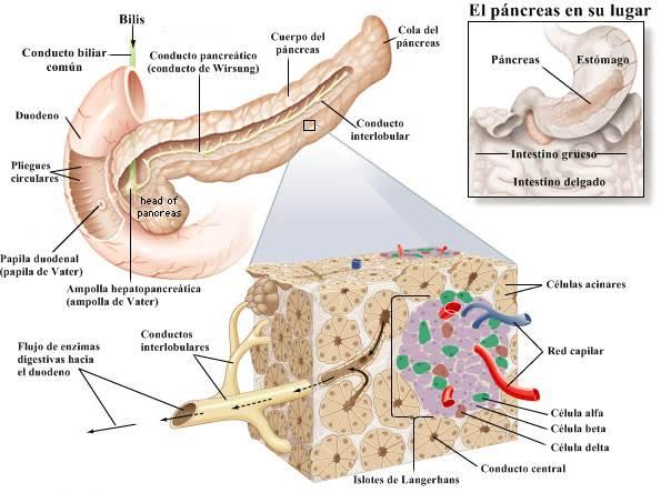 Sistema digestivo humano páncreas
