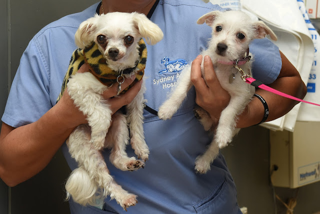 Puppy senior dog maltese terrier
