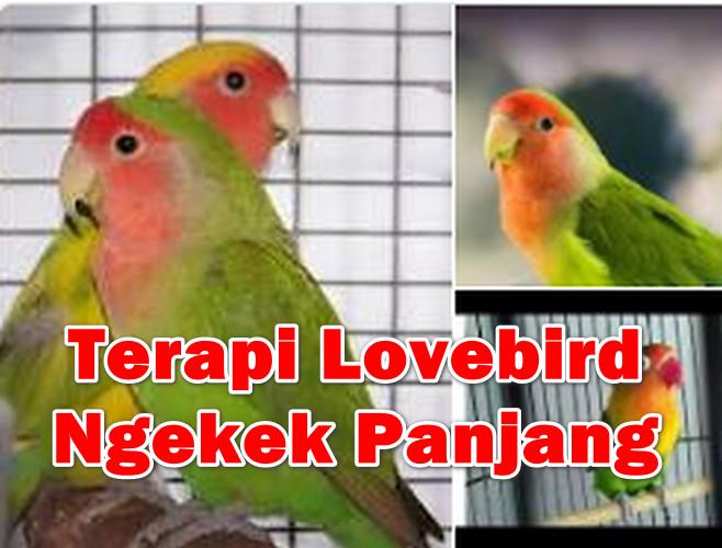 Cara Terapi Lovebird Agar Ngekek Panjang