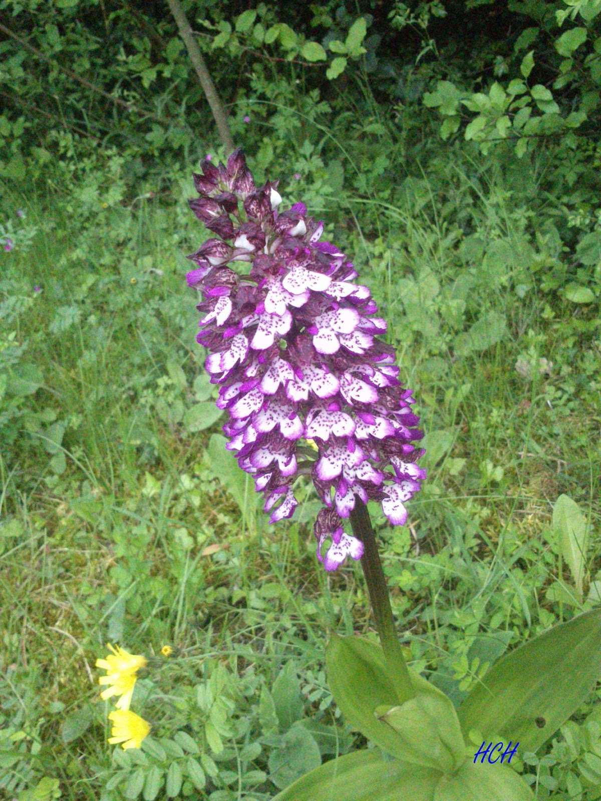 orchidee sauvage pourpre