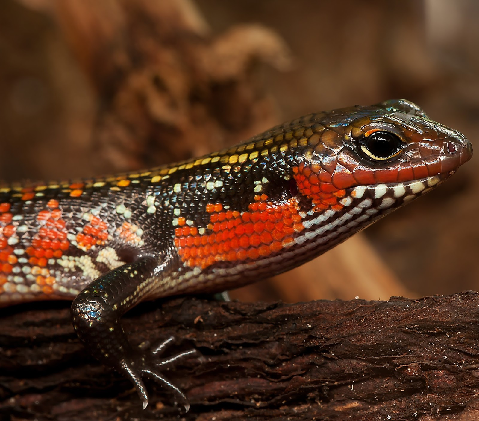 An image of a skink lizard.